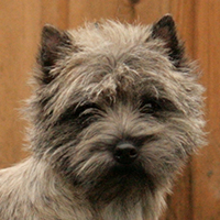 Mac Clouds Cairn Terrier