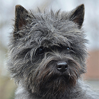 Mac Clouds Cairn terrier, Züchter